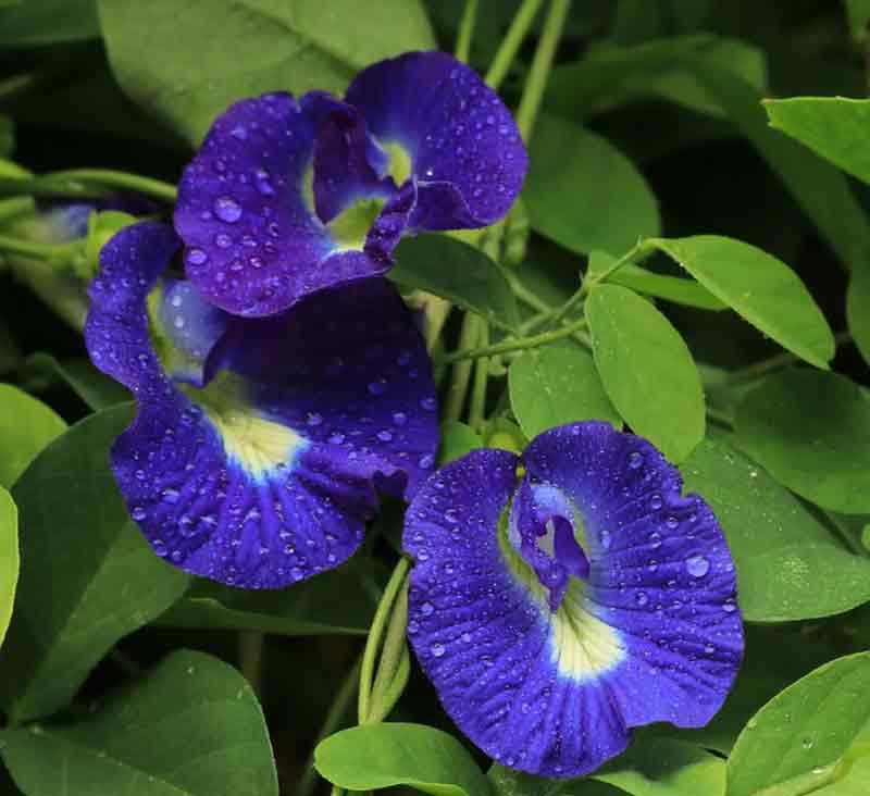 Những lợi ích không ngờ của hoa đậu biếc với sức khỏe. (Ảnh: Internet)
